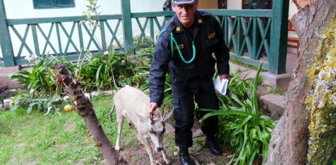 Policía rescata a venado que era atacado por 10 perros en la provincia de Canchis