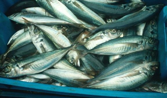 Consumo de pescados azules contribuye a elevar el coeficiente intelectual de los niños