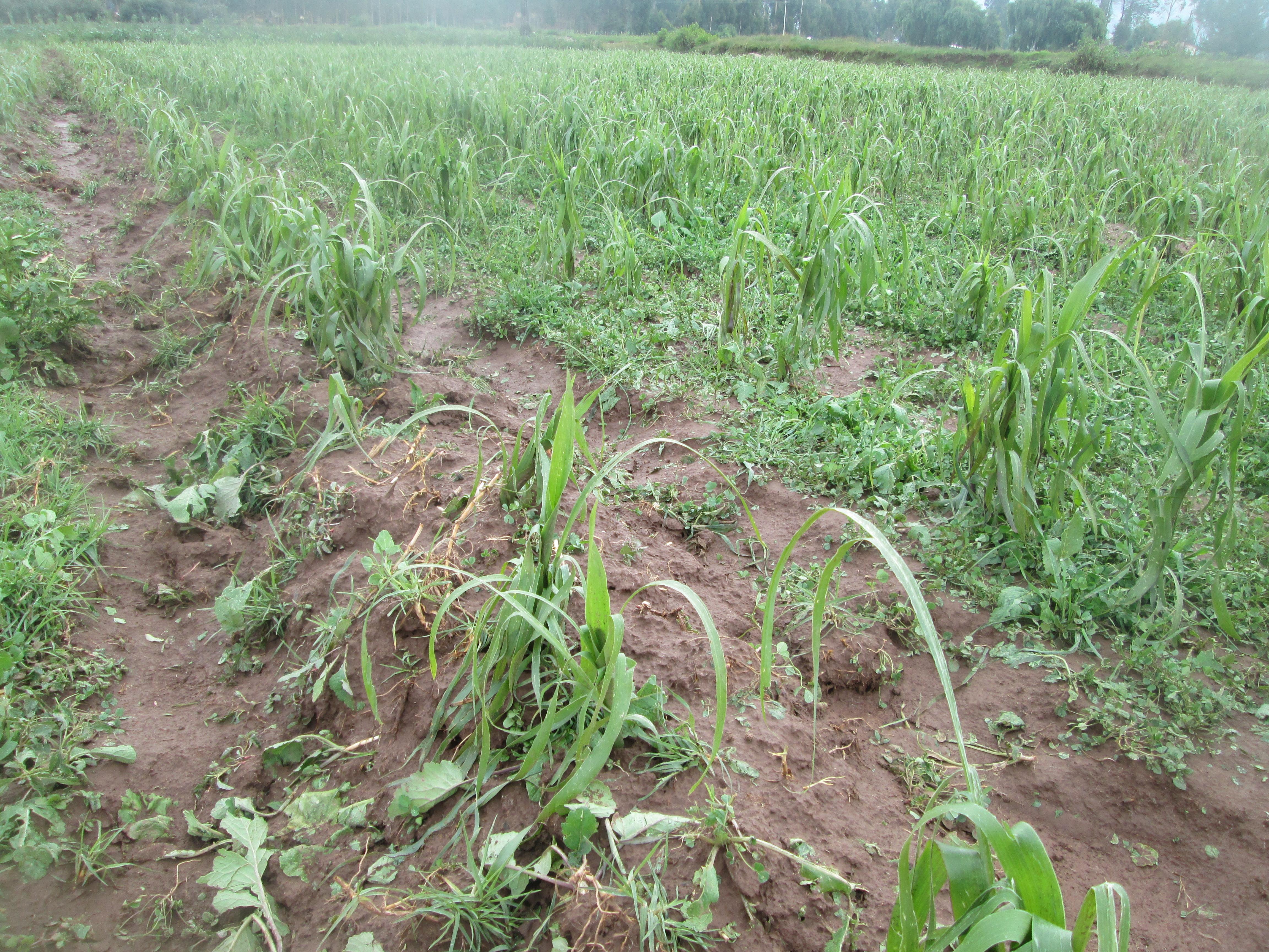 Granizada causó serios daños a la agricultura en la provincia de Anta